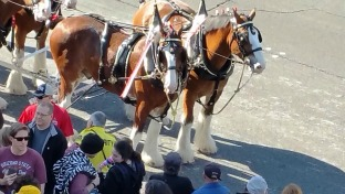Clydesdale horses on the Strip
