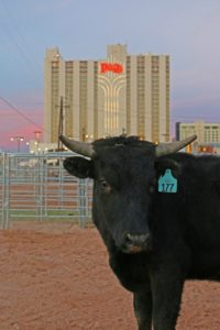 steer in the city
